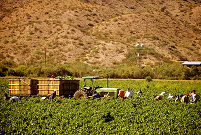 Chile Harvesting, Mesilla Valley, New Mexico